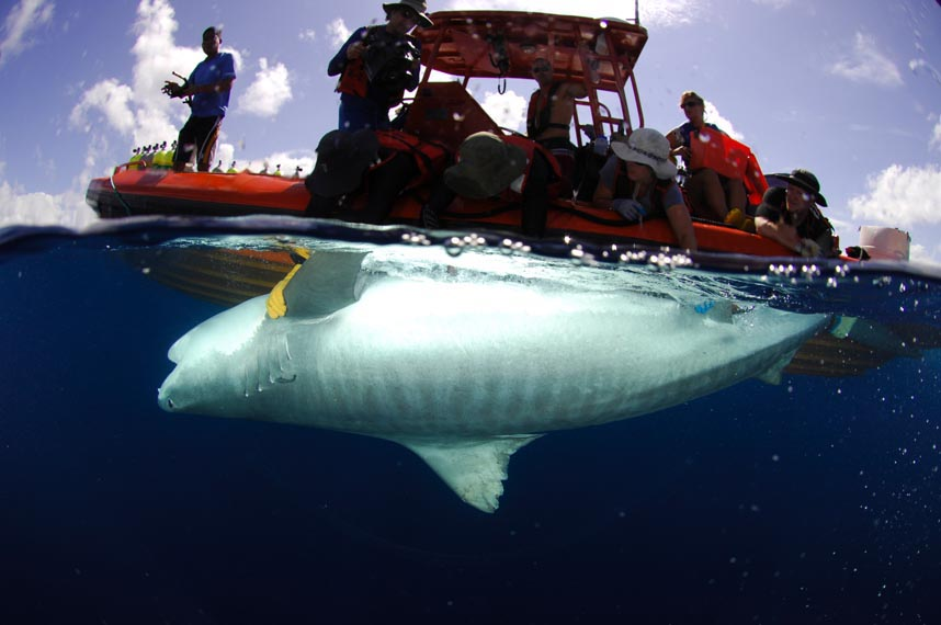 http://www.hawaii.edu/HIMB/ReefPredator/Images/NWHI%20-%20Tiger%20shark%20tagging.jpg