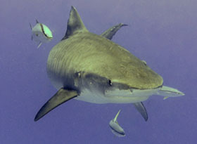 Tiger Shark Midway