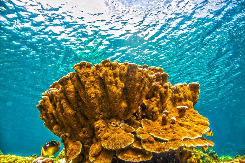 Capitata sp. coral