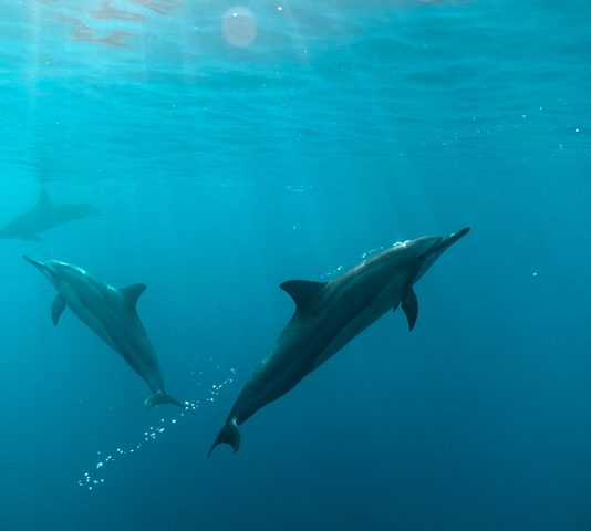 Dolphins blowing bubbles