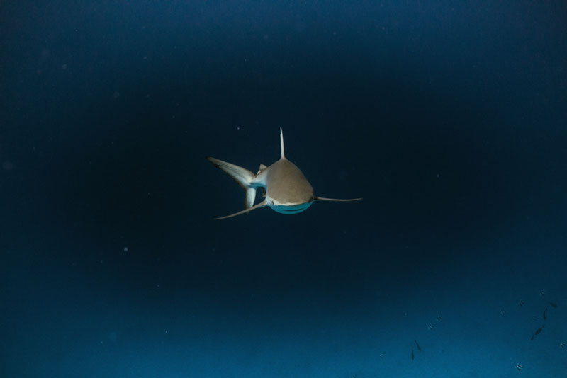 Galapagos shark at French Frigate Shoals