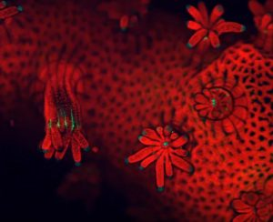 Coral Under a Confocal Microscope